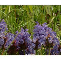 Prunella grandiflora 'Freelander Blue'