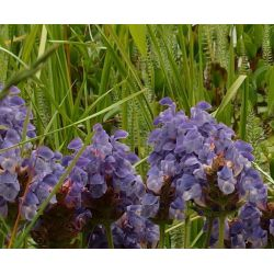Prunella grandiflora 'Frelander Blue'