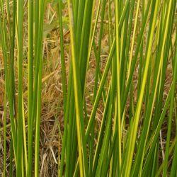 Baumea rubiginosa Variegata