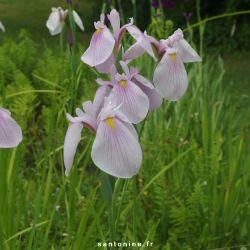 Iris laevigata 'Rose Queen'