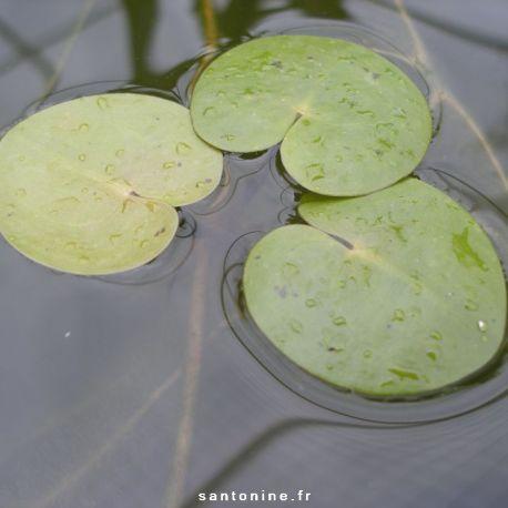 morène des grenouilles