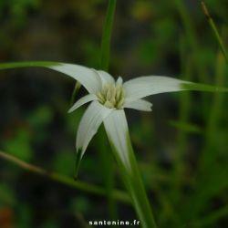 Rhynchospora colorata