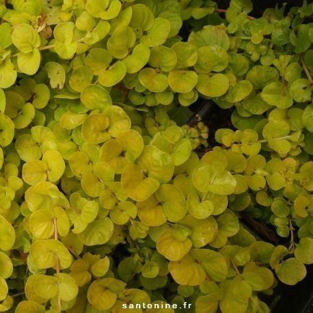 Lysimachia nummularia 'Aurea'