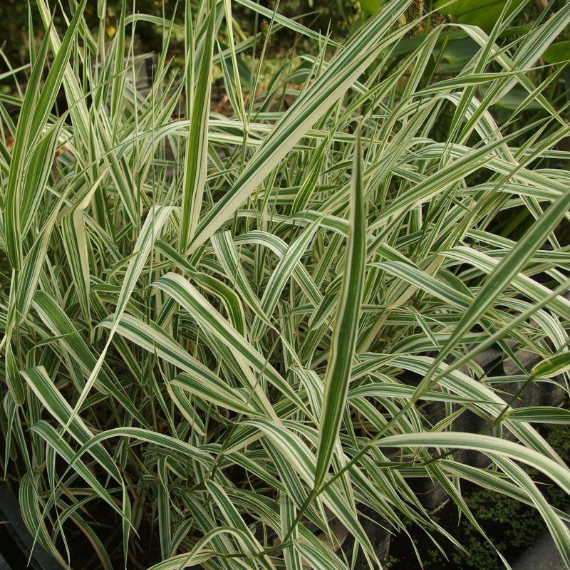 Phalaris arundinacea var. picta