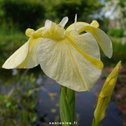 Iris pseudacorus var. bastardii