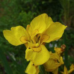 Iris pseudacorus Flore Plena