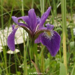 Iris versicolor 'Dark Aura''