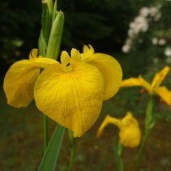 Iris pseudacorus 'Compact Form'