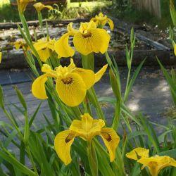 Iris pseudacorus 'Phil Edinger'