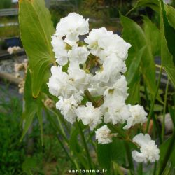 Sagittaria sagittifolia Flore Pleno