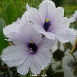 Eichhornia azurea