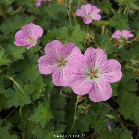 Geranium x riversleaianum Mavis Simpson