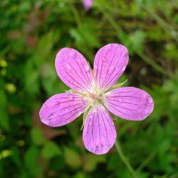 Geranium des marais