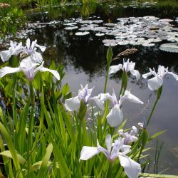 Iris laevigata 'Snowdrift'