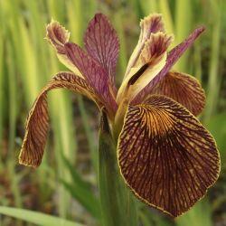 Iris des marais 'Holden Clough'
