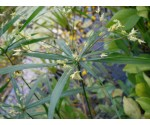 Cyperus albostriatus
