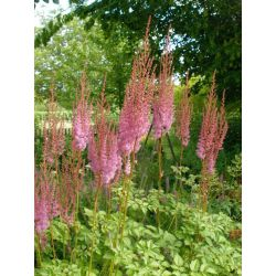 Astilbe Purpulanze