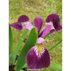 Iris versicolor var. kermesina
