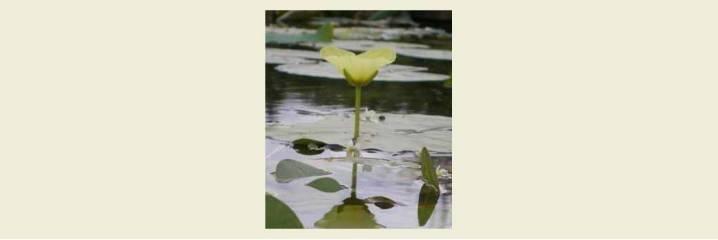 Autres plantes sur l'eau au soleil