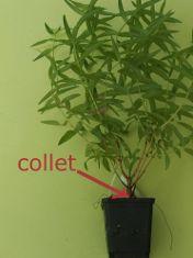 la plante et son collet