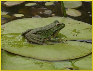 feuille et grenouille