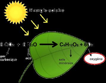 la formule de la photosynthèse
