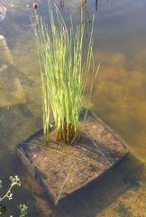 plante mise dans le bassin