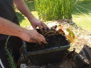 Installez le nénuphar au centre du panier aquatique