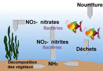 le cycle des nitrates et nitrites dans l'eau