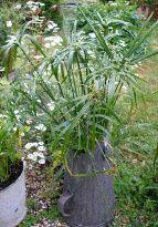 un cyperus en pot à charbon