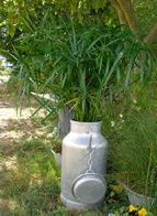 une potée avec cyperus alternifolius