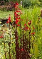 bassine avec lobelia en fleur