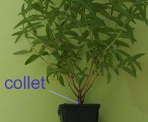 où se situe le collet de la plante