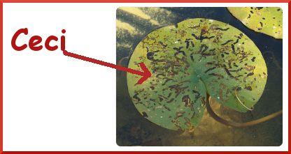 les trous que font les galéruques sur les feuilles de nénuphars