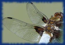 finesse des ailes de la libellules