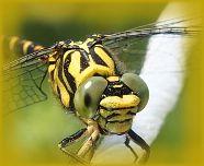 machoire robuste de la libellule
