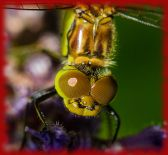 Les yeux de la libellule