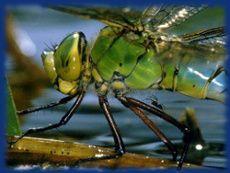 les six pattes de la libellules