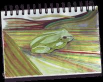 dessin de Claudine d'une rainette
